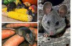 Come trattare con i topi nel paese e nel sito