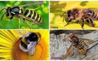 Qual è la differenza tra vespa, ape, calabrone, calabrone