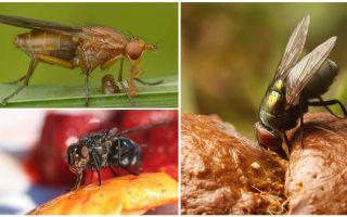 Cosa mangiano le mosche