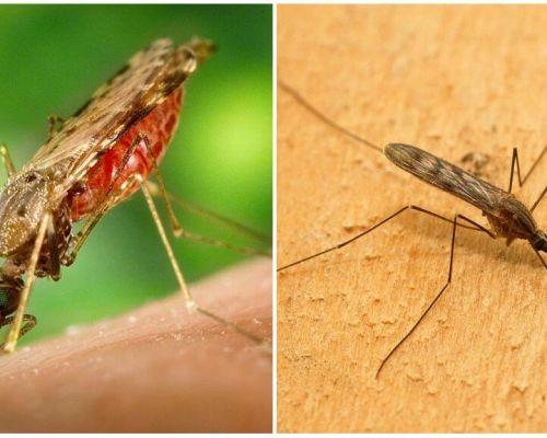Che aspetto hanno le zanzare della malaria e quanto sono pericolose per gli umani