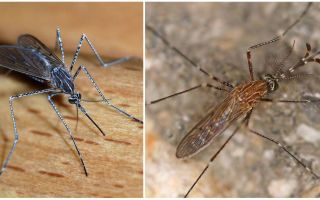 Descrizione e foto delle specie di zanzare