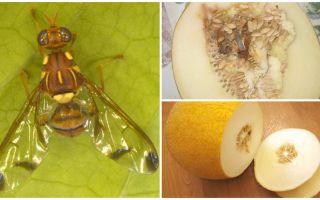 Descrizione di una mosca di melone e metodi per affrontarla