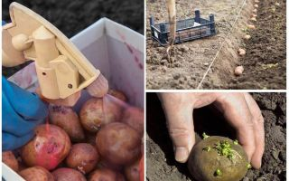 Prima di piantare la patata dallo scarabeo della patata del Colorado e dal wireworm
