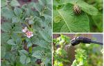 È possibile elaborare patate da coleotteri del Colorado durante la fioritura