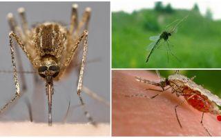 Come le zanzare vedono e cosa le attrae di una persona