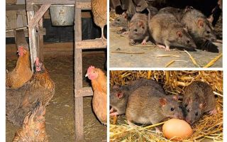 Come trattare con i topi nel pollaio