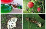 Quali formiche mangiano in natura