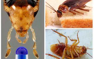 Aspettativa di vita dello scarafaggio domestico