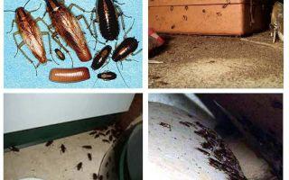 Cosa appaiono gli scarafaggi in casa, presagi