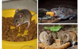 Che esca mettere in una trappola per topi