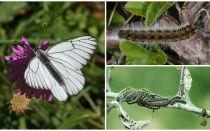 Descrizione e foto del bruco e della farfalla Hawthorn come combattere