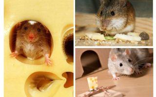 I topi mangiano formaggio o no