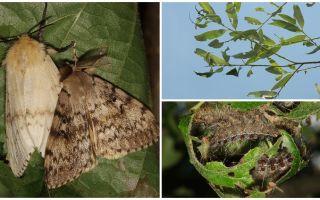 Descrizione e foto del bruco del Gypsy Moth