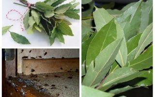 Come usare l'alloro contro gli scarafaggi