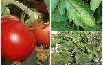 Afidi sui pomodori - cosa trattare e come combattere
