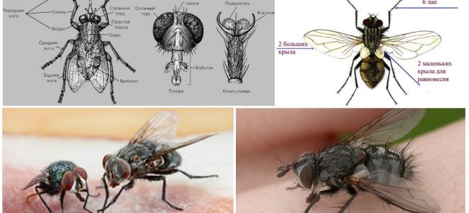 La struttura della mosca