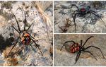 Descrizione e foto dei ragni del Kazakistan