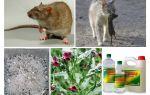 Come rimuovere i ratti dai rimedi popolari del fienile