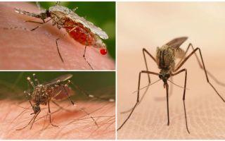 Quante zanzare hai bisogno di bere tutto il sangue