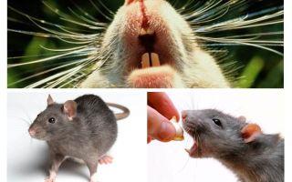 Squittio Rat