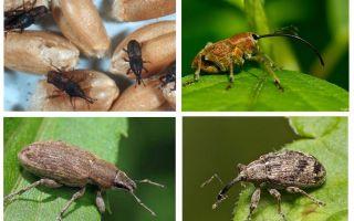 Beetle weevil e le sue larve