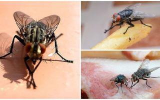 Perché le mosche si sfregano le zampe