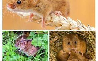 Dove vivono i topi