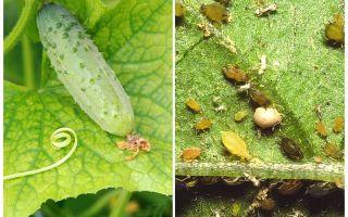 Cosa e come trattare con gli afidi sui cetrioli in serra e in pieno campo