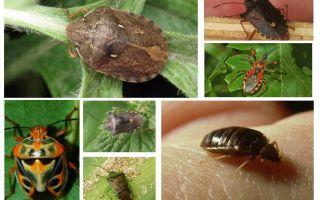 Gli insetti volano o no