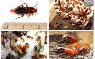 Caratteristiche allevamento scarafaggi turkmeni