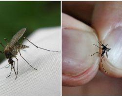 Come allevare e quante zanzare vivono
