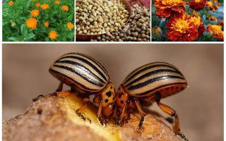 Rimedi popolari per lo scarafaggio della patata del Colorado sulle patate