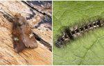 Descrizione e foto di farfalle e bruchi scoop come combattere