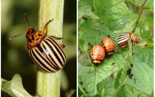 Come e quando lo scarafaggio della patata del Colorado è apparso in Russia?