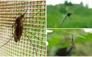 Quanto volano mosche e zanzare alte