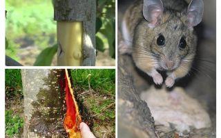 Come salvare il melo, se la corteccia si è accucciata sui topi