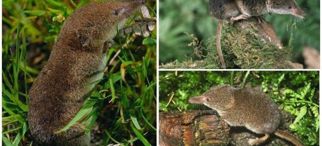 Come sbarazzarsi dei toporagni nell'area, il modo più efficace