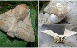 Descrizione e foto della farfalla del bruco e del baco da seta