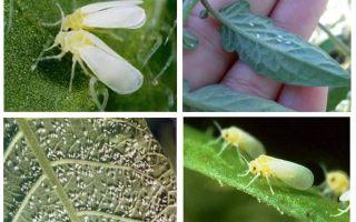 Come affrontare la mosca bianca nella serra