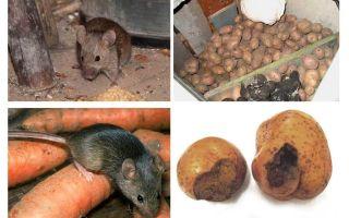Come ottenere i topi fuori dalla cantina
