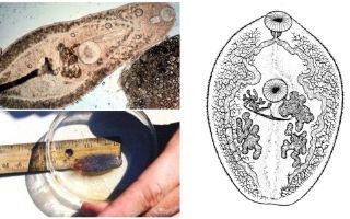 Descrizione dei trematodi