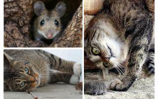Gatti e gatti mangiano topi?
