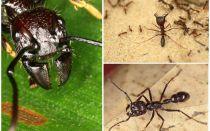Pallottola di formiche