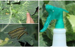 Come sbarazzarsi di farfalle e bruchi cavoli