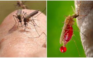 Quante volte può mordere una zanzara?