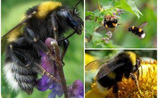 Descrizione e foto del calabrone del giardino