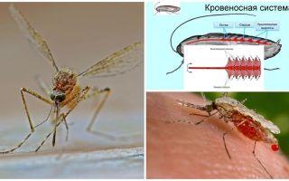 Curiosità sulla struttura delle zanzare