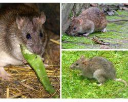 Che aspetto hanno i ratti