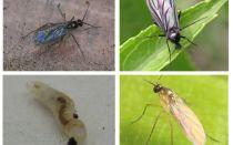 Come sbarazzarsi di mosche nere in piante da interno e vasi di fiori