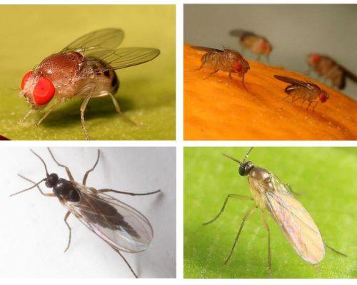 Come sbarazzarsi delle mosche nere in cucina